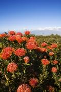 Protea Art Photos - Protea Blossoms by Ron Dahlquist - Printscapes