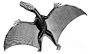 Pterodactyls Posters - Pterodactyl, Extinct Flying Reptile Poster by Science Source