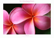 Floral Photographs Prints - Pua Lei Aloha Cherished Blossom Pink Tropical Plumeria Hina Ma Lai Lena O Hawaii Print by Sharon Mau