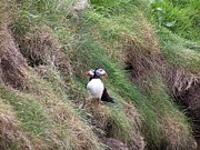 Puffins Print by George Leask