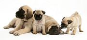 Mastiff Puppy Prints - Pug And English Mastiff Puppies Print by Jane Burton