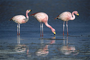 Flamingos Prints - Puna Flamingo Phoenicopterus Jamesi Print by Tui De Roy