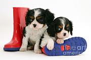 Puppies With Rain Boots Print by Jane Burton