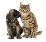 Brindle Photos - Puppy And Cat by Jane Burton