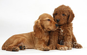 Goldendoodle Prints - Puppy Love Print by Mark Taylor