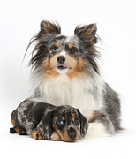Shetland Dog Prints - Puppy Pals Print by Mark Taylor