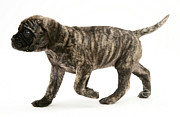Brindle Photos - Puppy Trotting by Jane Burton