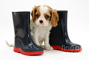 Spaniel Puppy Framed Prints - Puppy With Rain Boots Framed Print by Jane Burton