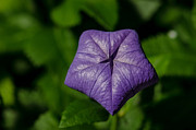Purple Balloon Flower Print by Tim Grimmel