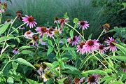 Purple Coneflowers Print by Theresa Willingham