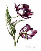 Tulip Drawings Prints - Purple flower Print by Danuta Bennett