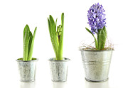 Floral Photos - Purple hyacinth in garden pots on white by Sandra Cunningham