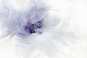 Bearded Irises Photos - Purple Iris Flower  by Jennie Marie Schell