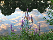 Purple Loosestrife Print by Mary McAvoy