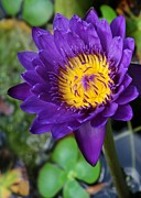 Opposite Colors Posters - Purple n Yellow Water Lily Poster by Sabrina L Ryan