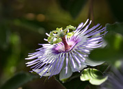 Passion Flower Photos - Purple Passion Flower  by Saija  Lehtonen