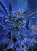Weed Reliefs Metal Prints - Purps Metal Print by Noble Richardson