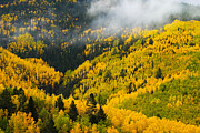 Autumn Scenes Metal Prints - Quaking Aspen And Ponderosa Pine Trees Metal Print by Ralph Lee Hopkins
