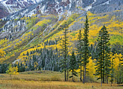 White River Prints - Quaking Aspen Grove In Fall Colors Print by Tim Fitzharris