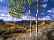 Quaking Aspen Photos - Quaking Aspen Trees In Fall Colors by Tim Fitzharris