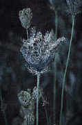 Mixed Media Photo Posters - Queen Annes Lace Poster by Bonnie Bruno