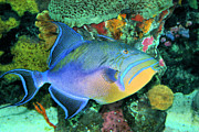 Queen Photos - Queen Triggerfish by Kristin Elmquist