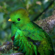 Fauna - Quetzal by Heiko Koehrer-Wagner