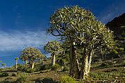 Quiver Prints - Quiver Tree Forest Print by Michele Burgess