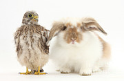 Baby Bird Prints - Rabbit And Kestrel Chick Print by Mark Taylor