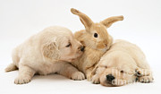 Rabbit And Puppies Print by Jane Burton