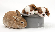 Sleeping Baby Animal Framed Prints - Rabbit And Spaniel Pups Framed Print by Mark Taylor