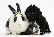 Toy Dog Photo Posters - Rabbit, Puppy And Guinea Pig Poster by Mark Taylor