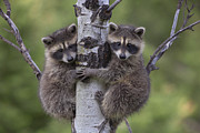 Carnivores Posters - Raccoon Two Babies Climbing Tree North Poster by Tim Fitzharris