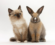 Cat Portraits Prints - Ragdoll-cross Kitten And Young Rabbit Print by Mark Taylor