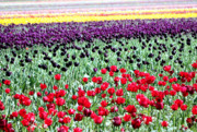 Rainbow Of Colors Framed Prints - Rainbow of Tulips Framed Print by Nick Gustafson