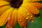 Vital Prints - Raindrops on Daisy Print by Thomas R Fletcher