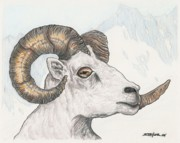 Mountain Goat Drawings - Ram by Stephen Taylor