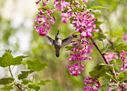 Hummingbird Photos - Reach For It by Rebecca Cozart