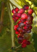 Grape Digital Art Metal Prints - Ready for Harvest Metal Print by Sharon Foster
