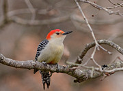 Diane Giurco - Red-bellied Woodpecker