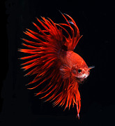 Fish Tank Prints - Red Betta Fish Print by Visarute Angkatavanich