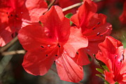 Azalea Bush Photo Prints - Red Blossoms Print by Christiane Schulze