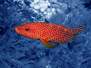 Water Grouper Print Metal Prints - Red Coral Cod Metal Print by Serena Bowles