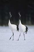 Bird Calling Prints - Red-crowned Crane Grus Japonensis Pair Print by Konrad Wothe