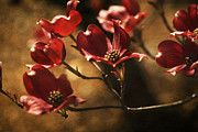 Blooming Tree Posters - Red Dogwood Poster by Bonnie Bruno