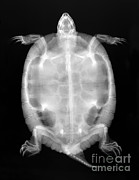 Slider Framed Prints - Red-eared Slider Turtle X-ray Framed Print by Ted Kinsman