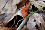 Wv Prints - Red Eft Print by Randy Bodkins