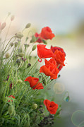 Cornwall Photos - Red Field Poppies by Jacky Parker Photography
