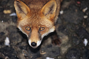Vulpes Vulpes Posters - Red Fox Poster by David Aubrey