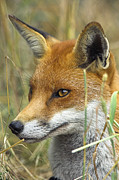 Vulpes Posters - Red Fox Poster by Duncan Shaw